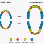 Piezas Dentales Por edades