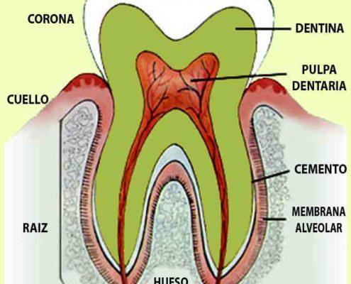 partes-del-diente